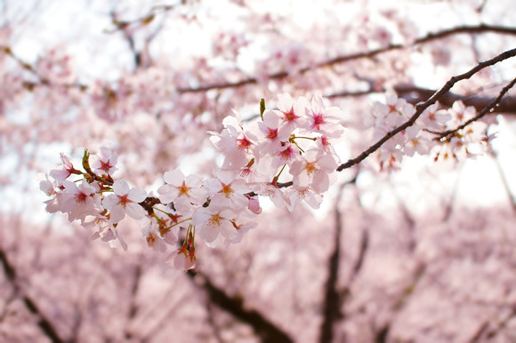今日のボーム&メルシエはリネア×桜 M0A10121